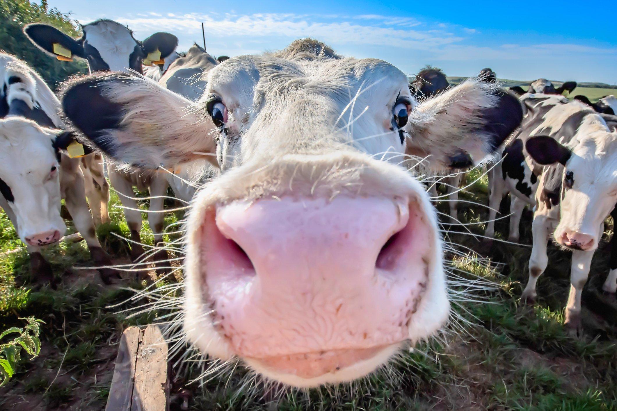 Kühe erschrecken: Warum dieser neue TikTok-Trend so gefährlich ist | familie.de