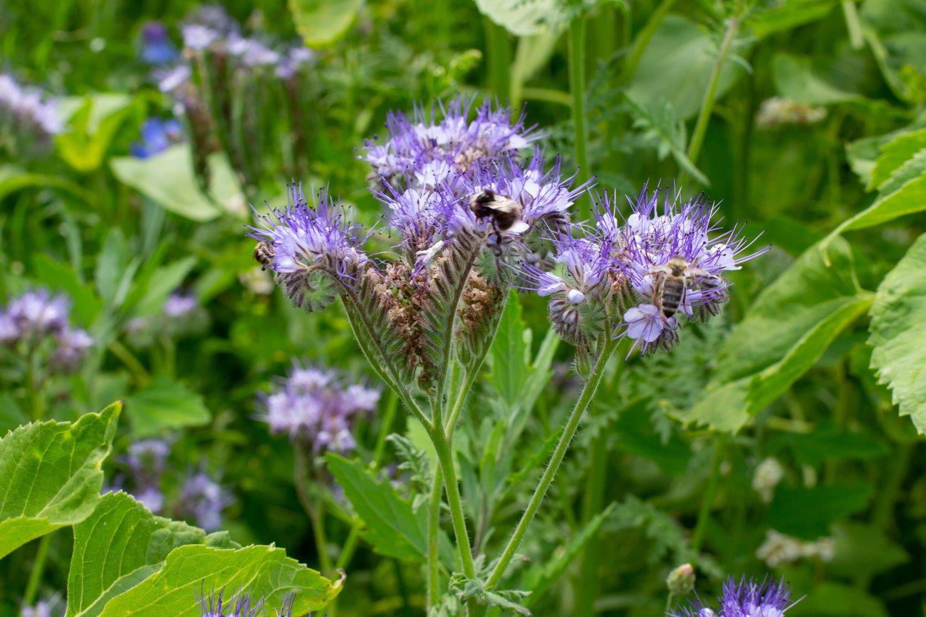 Phazelie Bienenfreundliche Pflanzen