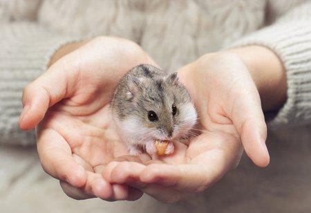 Hamster als Haustier
