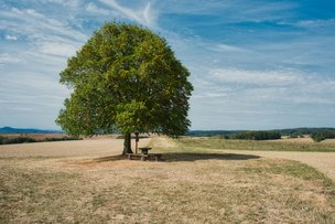 keltisches Baumhoroskop: Linde