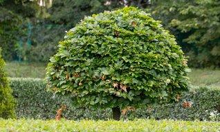 Keltisches Baumhoroskop: Hainbuche